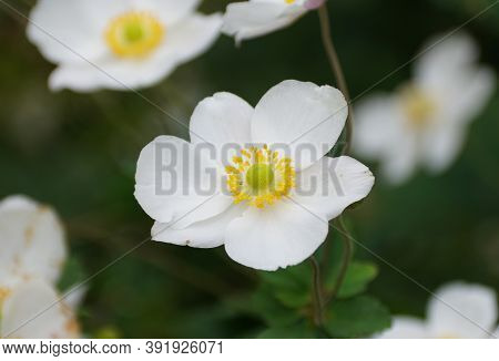 A Close Up Of A Chinese Anemone 'robustissima' Flower