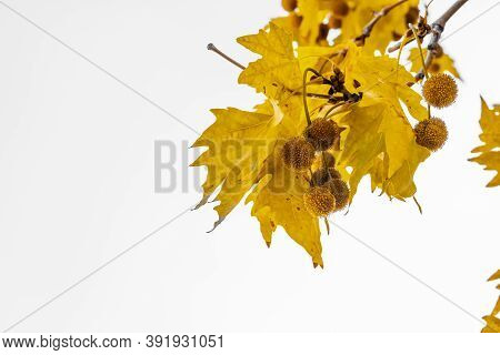 Gold Color Plane Tree Leaves Isolated On White Background. Platanus Orientalis, Old World Sycamore,