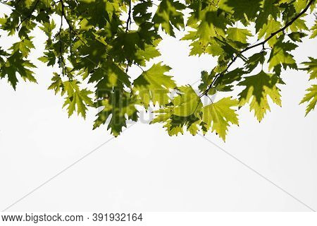 Green Color Plane Tree Leaves Isolated On White Background. Platanus Orientalis, Old World Sycamore,
