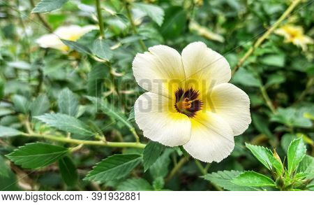 Turnera ulmifolia is a species of flowering plant of the genus eight o\'clock flower (Turnera). This plant comes from Mexico and the East Indies