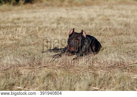 A Black Pitbull With A Chain Lies On The Grass And Looks Away. A Strong And Dangerous Fighting Dog O