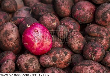 One Washed Red Potato On Dirty Ones. Freshly Dug Red Potatoes On The Farm.