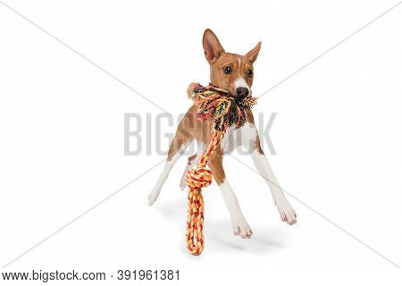 Basenji Young Dog Is Posing. Cute Playful Brown White Doggy Or Pet Playing On White Studio Backgroun