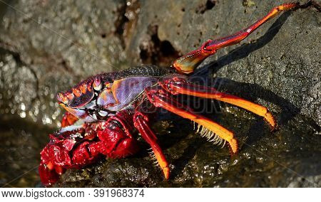 Red Crab In Foreground On The Rocks And Near The Water, Also Known As Moorish Crab
