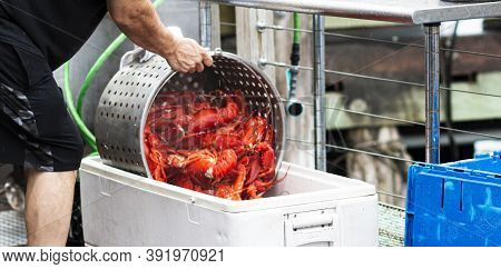 Just Steamed Fresh Maine Lobsters Are Being Poured Into A Container To Cool Off Before Being Served
