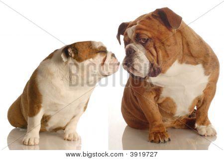 Denglish Bulldogs Kissing