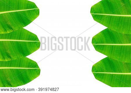 Banana Leaf, Green Leaves, With Copy Space Isolated On White Background