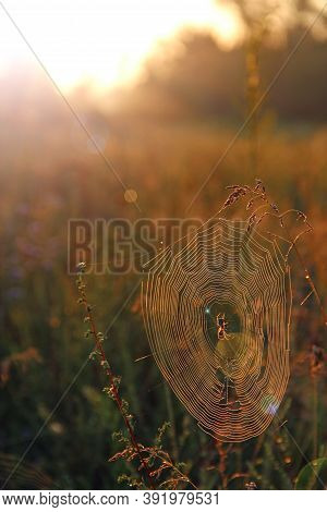 Big Cobweb Among Blades In Field In Sun Light At Dawn. Spiders Web In Summer Field In Sun Rays At Da