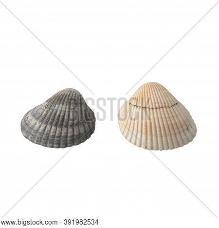 Seashell Isolated On White Background Top View.