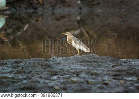 Javan Pond Heron Is Looking For Food On The River