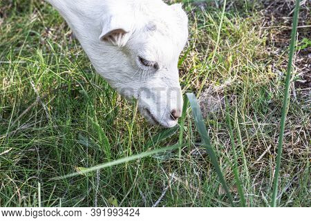 Portrait Of A Beautifal White Goat Eating Grass On A Field In The Mountains