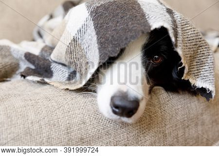 Funny Portrait Puppy Dog Border Collie Lying On Couch Under Plaid Indoors. Dog Nose Sticks Out From