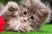 Cute gray kitten playing red clew of thread on artificial green grass poster