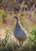 Close up image of a sharp tailed grouse.  Custer State Park, South Dakota poster