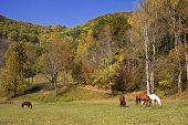 Horses in Mountain Meadows in the Autumn Fall Season poster