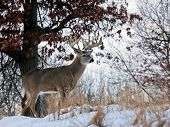 Profile of a trophy whitetail buck on a hillside.  Winter in Wisconsin poster