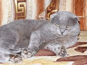 Scottish fold grey cat on the bed poster
