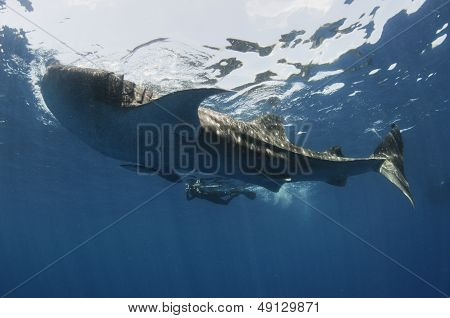 Woman photographing Whale Shark