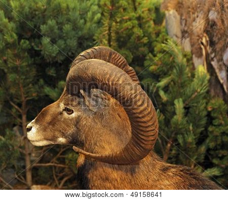 Muzzle Of An Ibex Or Barbary Sheep With Horns Twisted