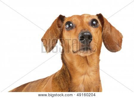 Dachshund dog looking up