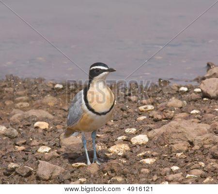 Egyptian Plover  Img_8696