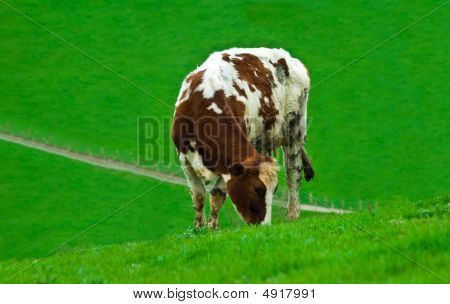 a female cow grazing alone in a field of lush green fresh grass poster