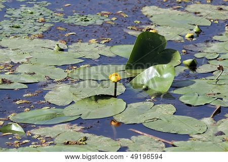 Yellow Water Lilly