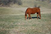 Brown horse peacefully grazing in the pasture. poster