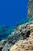 coral reef with porites corals and goatfishes at the bottom of tropical sea on blue water background poster