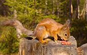 Squirrel with nuts and summer forest on background wild nature thematic (Sciurus vulgaris rodent) poster