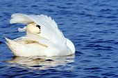 white swan swimming on blue water outdoor park poster