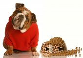 english bulldog in red sweater sitting beside bowl of dog food poster