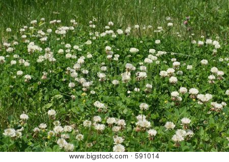 Clovers And White Weed Flowers