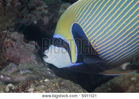 emperor angelfish taken in the red sea. poster