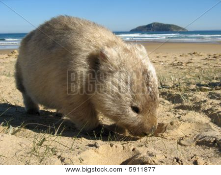 Wombat Island