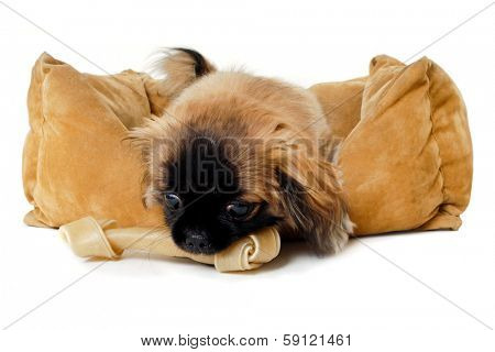 Puppy dog is eating bone in dog bed. Taken on a white background