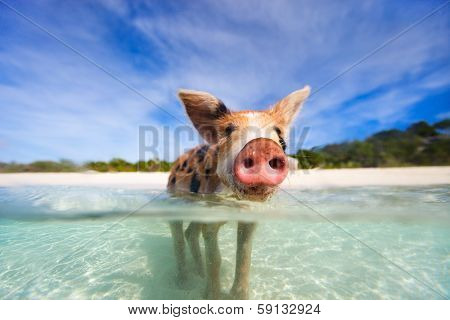 Little piglet in a water at beach on Exuma Bahamas