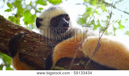 Diademed sifaka lying on a tree's branch in a forest. Andasibe - Mantadia national park, Madagascar