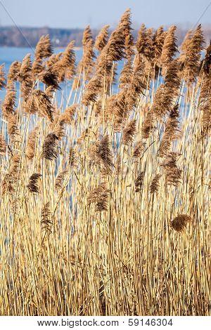 Common Reed (phragmites) In The Pogoria Iii Lake, Poland.
