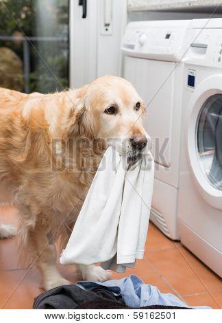 Golden Retriever Doing Laundry