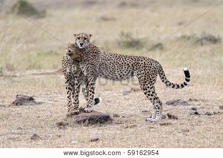 Pair Of Cheetahs