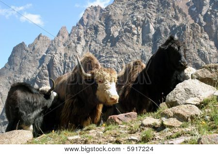 oxen and cow