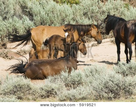 free roaming mustangs in the Pryor Mountain wild horse range in Wyoming poster