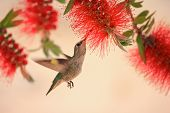 Hummingbird hovering and feeding in a bottlebrush tree. poster