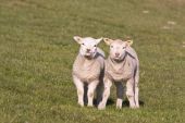Two sweet young and curious lambs in the Netherlands poster