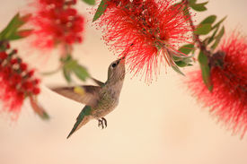 Hovering Hummingbird in Bottlebrush Tree