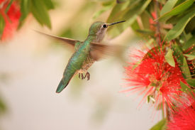 Hummingbird in Bottlebrush Tree