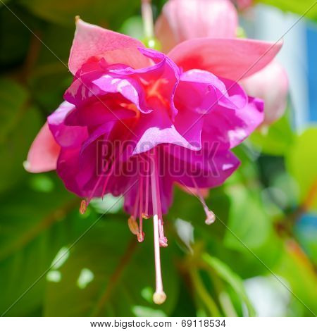 blossoming branch exotic colorful fuchsia on blue sky `Kathy's Sparkler` poster