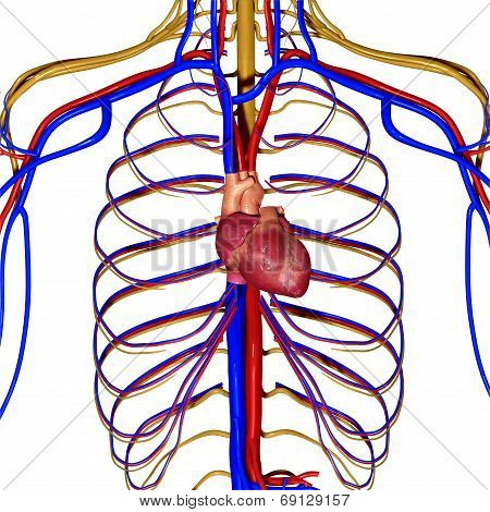Nervous system with heart