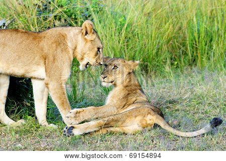 Two Young Lions Playing in South Luangwa National Park, Zambia, Africa